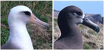 コアホウドリとクロアシアホウドリ